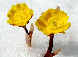 为什么雪莲花不畏冰雪高寒