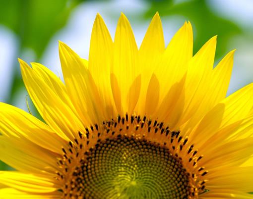 为什么向日葵的花总是朝着太阳
