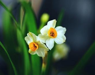 """为什么水仙花""""喝""""清水就能生长开花"""